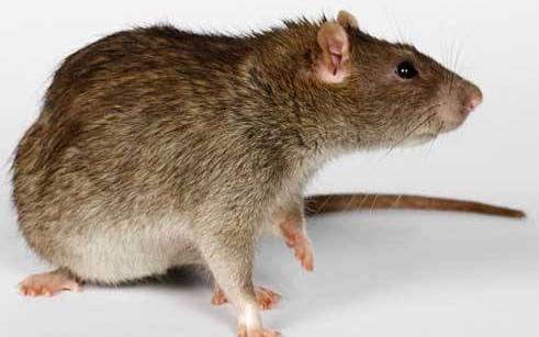 如果房子里有老鼠怎么办?重庆专业除四害公司分享!