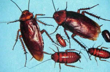 重庆除蟑螂公司分享:蟑螂吃什么食物?蟑螂能活多久?